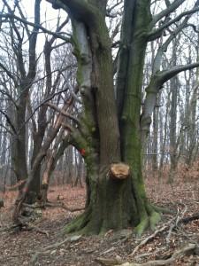 Zwei miteinander verwachsene Bäume