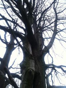 Zwei miteinander verwachsenen Bäume