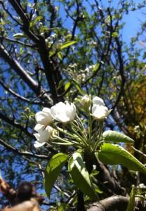 Birnenblüte 2