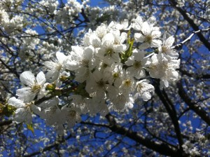 Kirschblüte 3