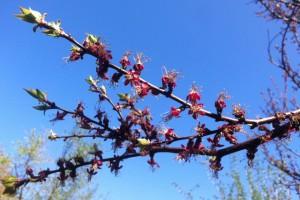 Marillenblüte 2
