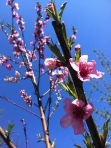 Pfirsichblüte 2