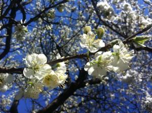 Zwetschkenblüte 2