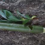 Weidenpfeiferl
